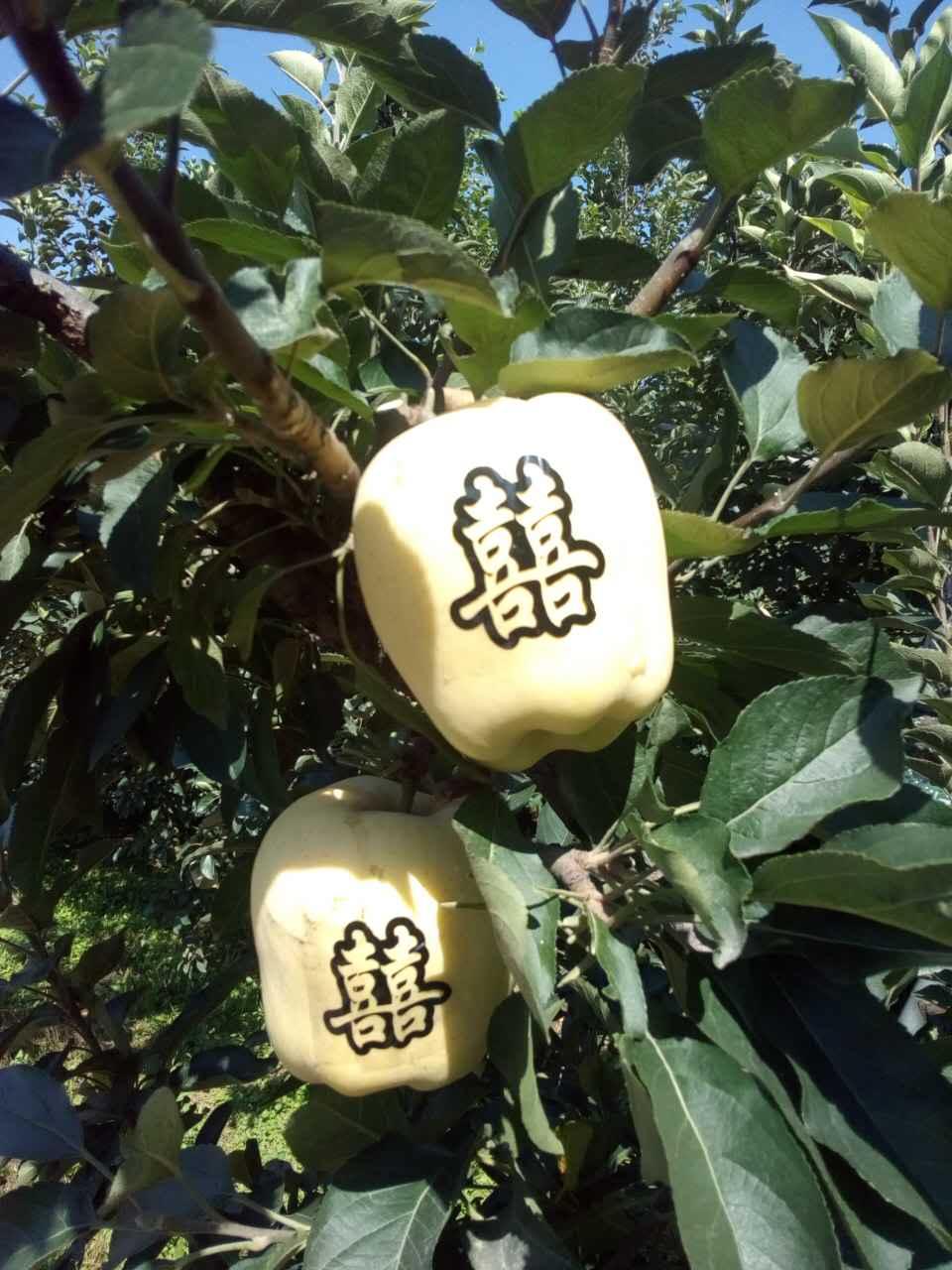 无公害苹果即将成熟