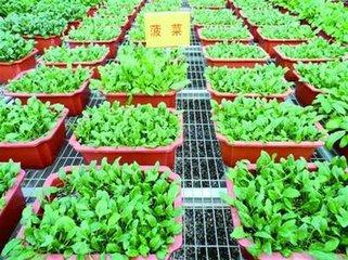 唐山盆栽蔬菜