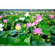 水生植物种苗