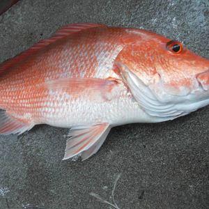 【红鱼】厂家,价格,图片_昆明海鲜销售批发_必途网
