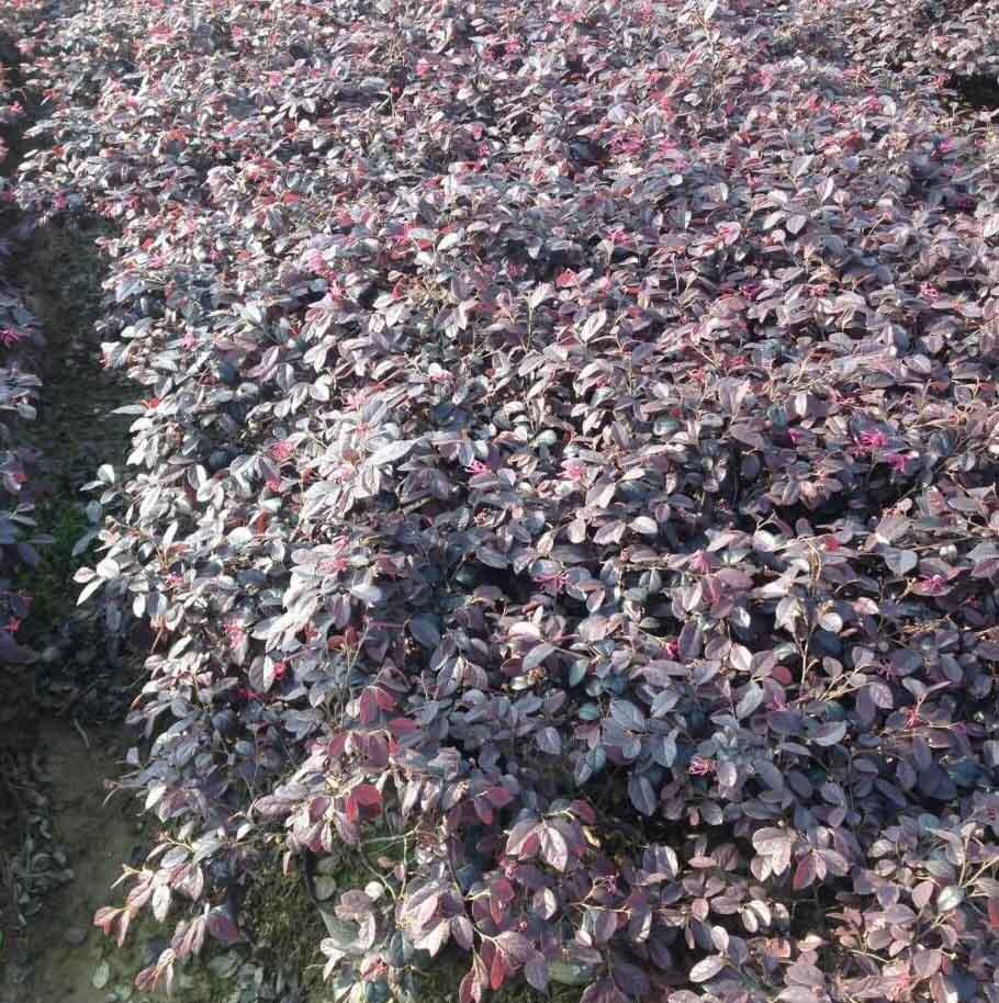 13282989956红花继木