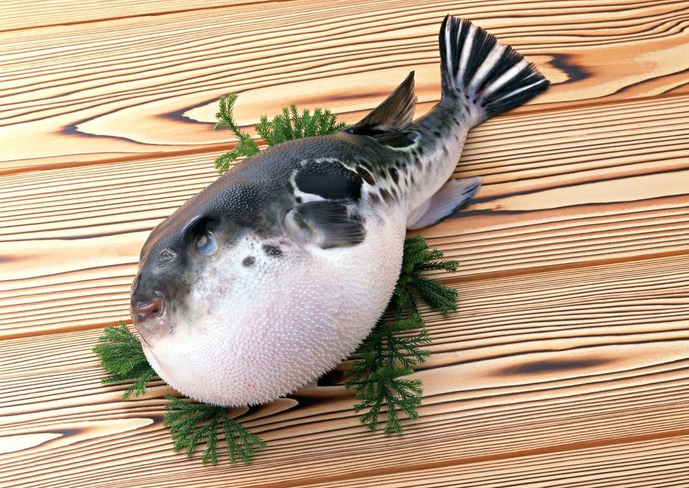 河豚鱼 Globefish