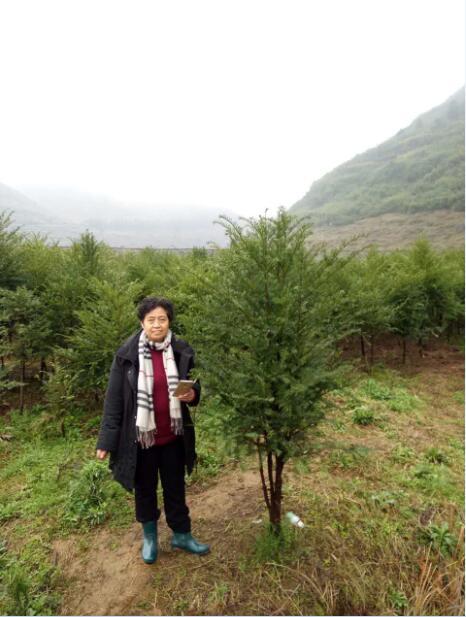 湖南红豆杉养殖|湖南红豆杉育苗|红豆杉哪里种植好