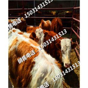 小牛崽养殖用的小牛崽种苗小牛崽种苗