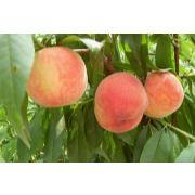 唐山桃子代收|唐山桃子代销|唐山果蔬代收