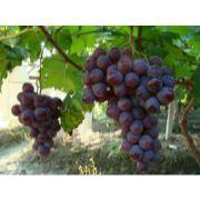 唐山葡萄代收|唐山葡萄代销|唐山瓜果代收