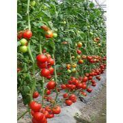 唐山西红柿代销|唐山西红柿代收|唐山桃子代收