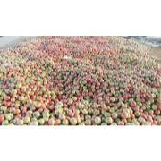 乐亭西红柿代收|唐山西红柿代收|乐亭西红柿代销