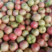 唐山西红柿|唐山西红柿代收|乐亭西红柿代收