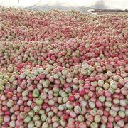乐亭西红柿|乐亭西红柿代销|唐山西红柿代销