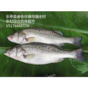唐山海鲈鱼|唐山海鲈鱼批发|唐山鲈鱼