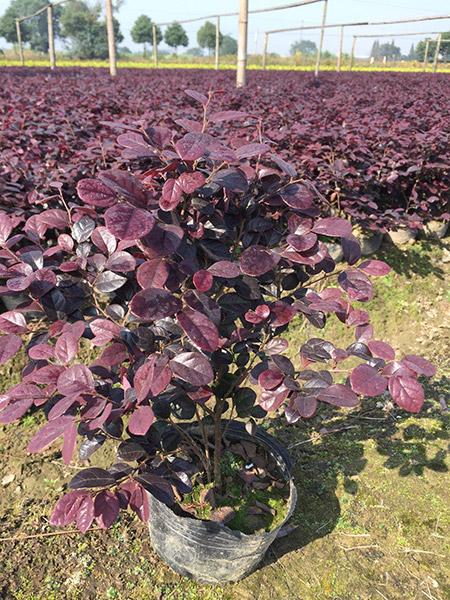 红花继木5