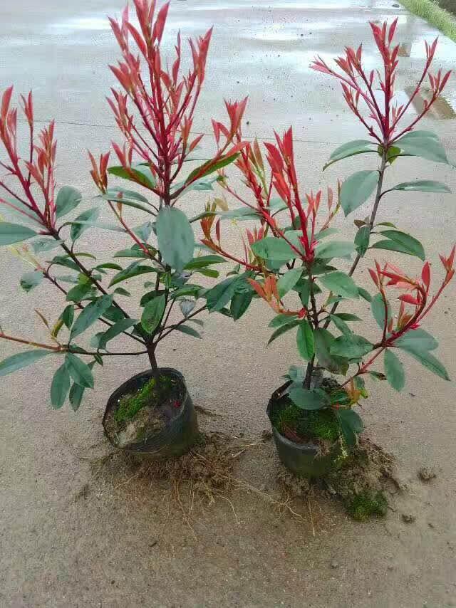 红叶石楠4