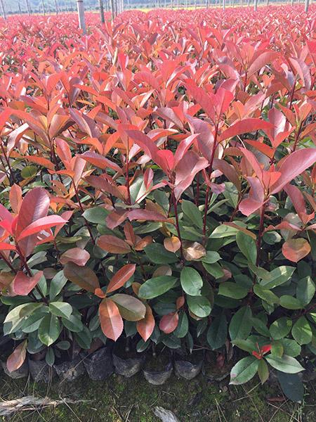 红叶石楠7