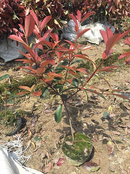 红叶石楠11