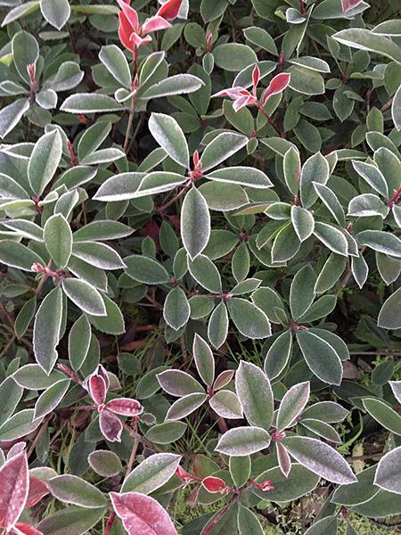 红叶石楠12