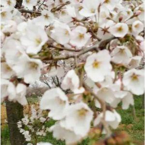染井吉野櫻是單瓣白色櫻花,初開淡紅,全開轉白