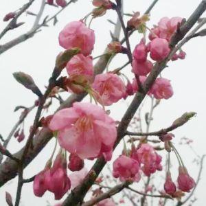 四明山櫻花色幽香艷麗,盛開時繁華艷麗,滿樹爛漫