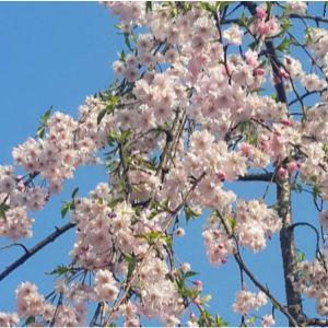 雨晴垂枝櫻花是重瓣粉紅色櫻花,耐寒耐旱病蟲少