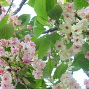 御衣黃櫻俗稱綠櫻,是一種重瓣櫻花,作點綴最佳