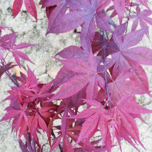 三季紅紅楓也叫日本紅楓三季紅,是落葉小喬木