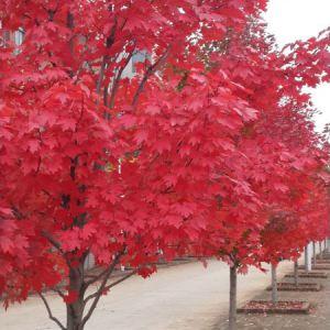 十月光輝紅楓是大型落葉喬木,葉色穩定紅艷
