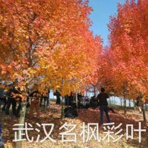 夕陽紅紅楓是美國紅楓改良品種系列中最經典的代表品種