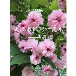 菊櫻粉紅色,是新品種櫻花中的晚櫻重瓣品種。