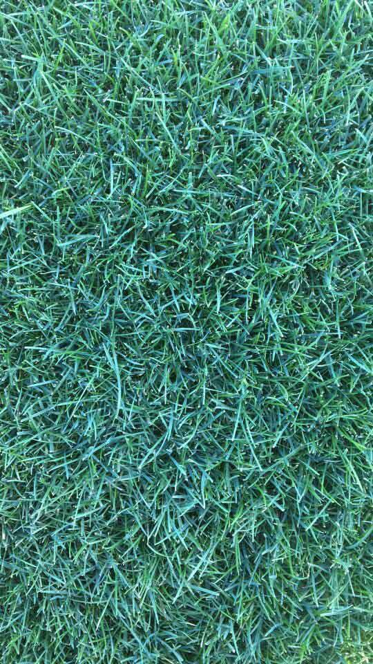 混播草坪2