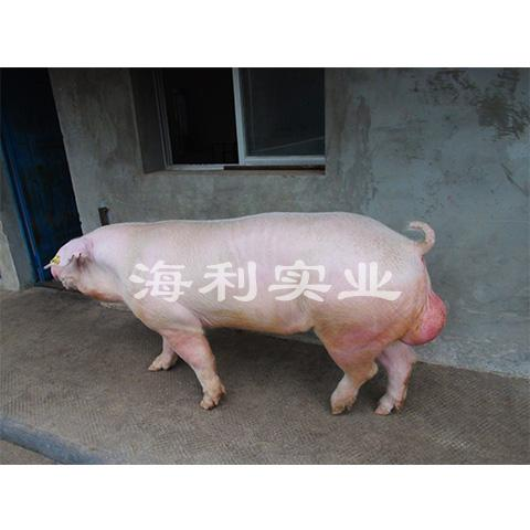 长白种猪2