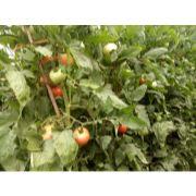 番茄、甜瓜、油桃等