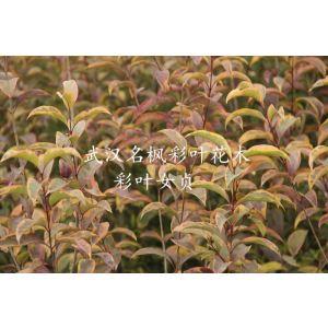 彩葉女貞是耐寒彩葉闊葉喬木,表現及抗性都非常強。
