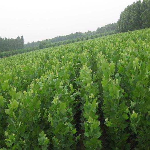石家庄绿化苗木法桐树