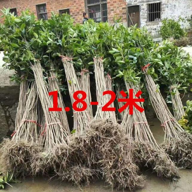四季桂树苗