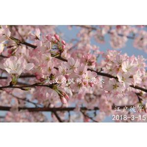 江戶彼岸櫻是單瓣櫻花,花色純色、紅紫色,但淡紅色較為常見