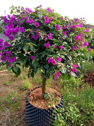 昆明紫三角梅