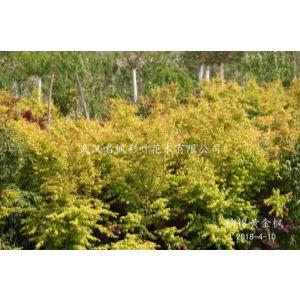 袖錦黃金楓,春天葉子橙黃色,秋天橙紅色,生長速度快