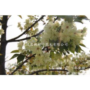 郁金櫻是重瓣櫻花,花是淡黃綠色,初開花色一致