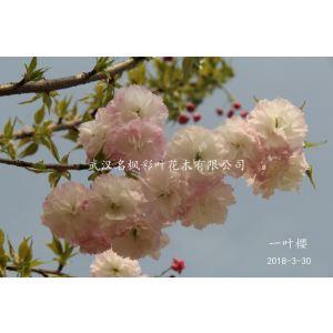 一葉櫻屬于喬木,幼葉黃綠色稍微帶有褐色,花瓣近白色