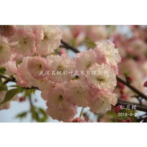 松月櫻是花色多變的新品種晚櫻,初開粉白,全開白色