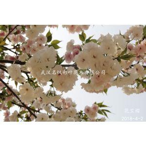 花笠櫻是重瓣櫻花,新品種櫻花中的晚櫻系列。