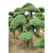 对节白蜡景观树08