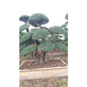 对节白蜡造型树07