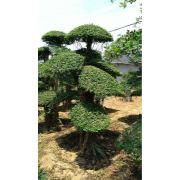 对节白蜡造型树17
