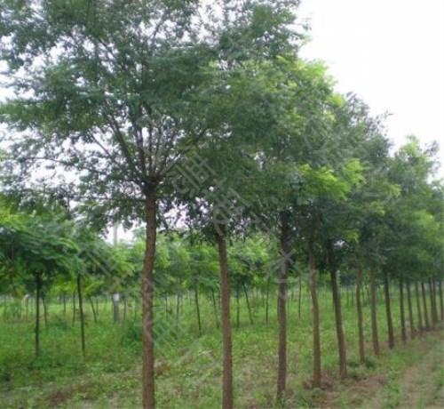 容城|国槐种植|唐山国槐树