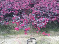 浙江红叶继木
