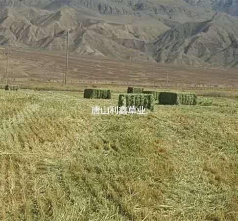 国产燕麦草