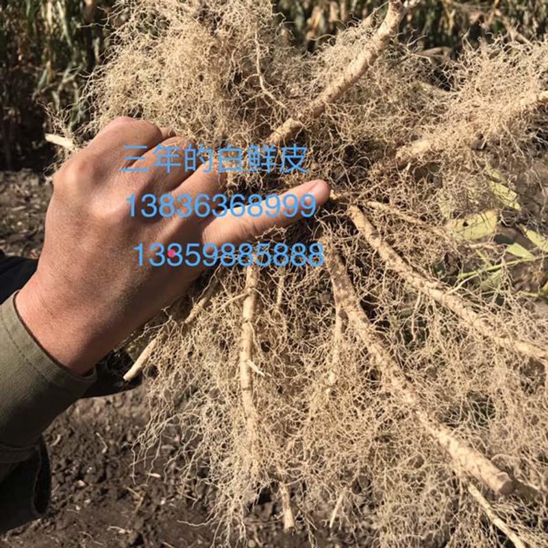 丰达中药材 白鲜皮种子价格 白鲜皮种苗价格