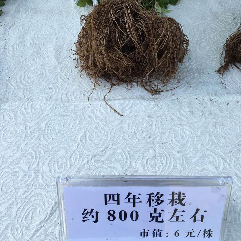 黑龙江苍术|黑龙江苍术种植|黑龙江苍术供应