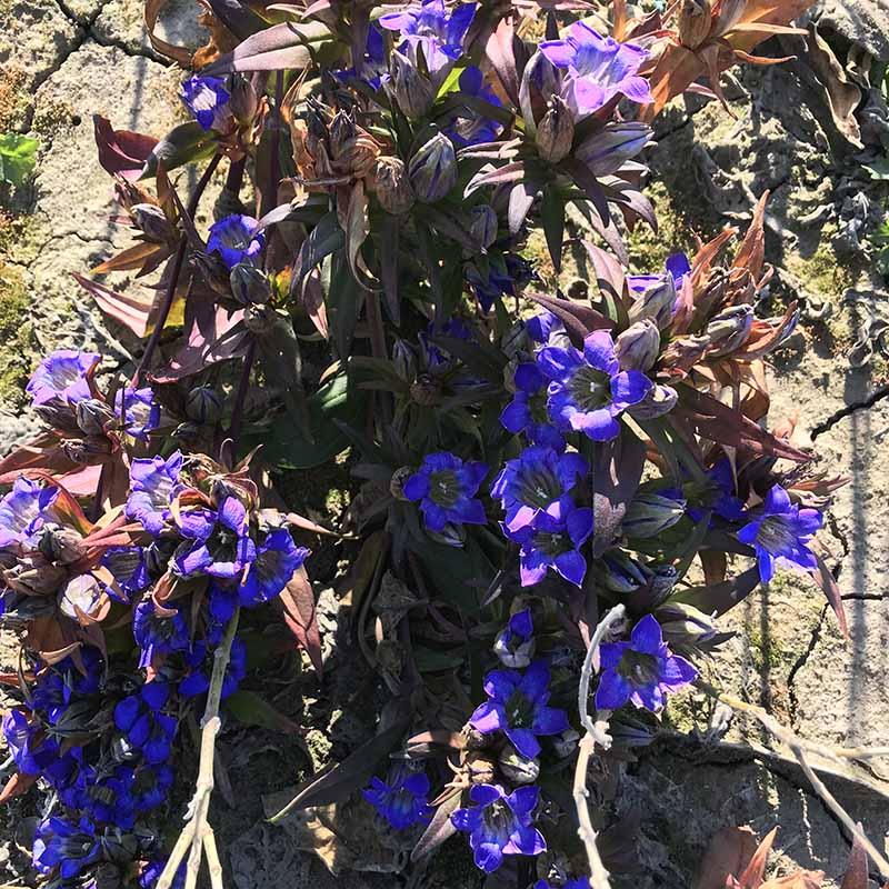 丰达关苍术|龙胆草种子|北苍术种子